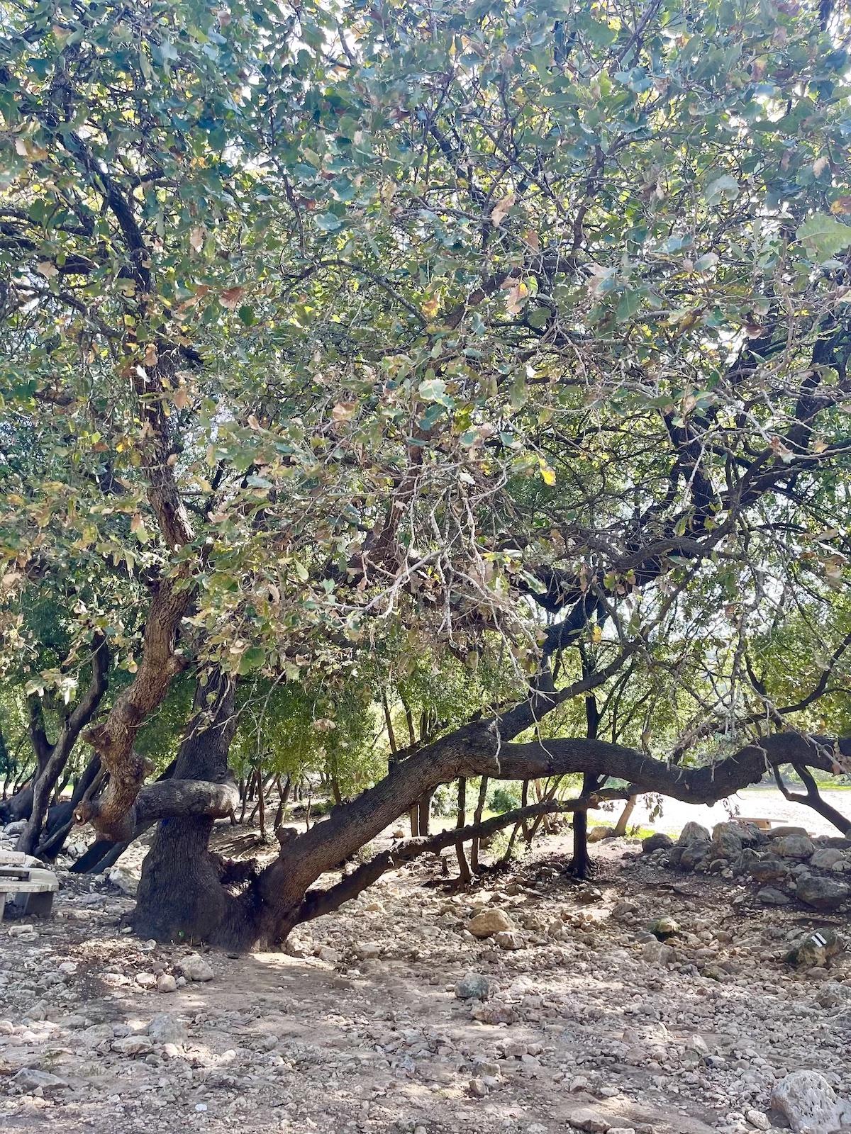 נחל אורן עין אלון יערות הכרמל חיפה סלסלת פיקניק שירי ויצנר בליקר בייקרי