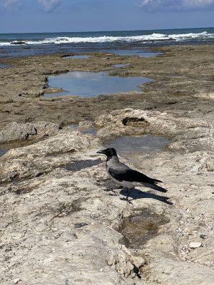 עורב על שוניות וסלעים חוף שקמונה
